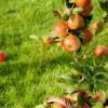 Il succo di mela è antitumorale. Non lo dice il fruttivendolo, ma una ricerca del CNR