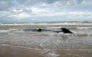 Uno dei capodogli spiaggiati di Peschici, Courtesy of Tiscali News