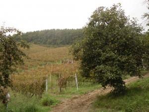 Le vigne di Punset a Neive