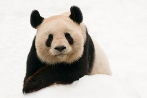 panda courtesy of wwf.it