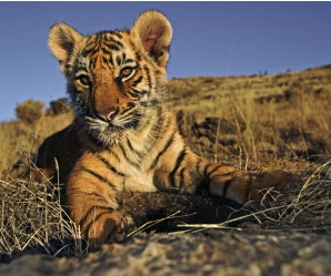 tigre, Courtesy of wwf.it
