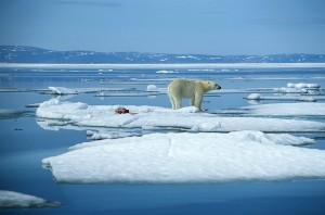 Un orso polare tra i ghiacciai in scioglimento, Courtesy of IlPiave.it
