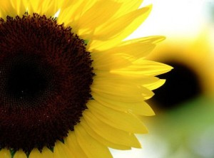 sunflower, courtesy of wallpapers.free-review.net