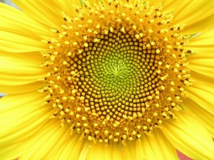 Girasole, courtesy of Wikimedia Commons