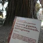 burcina_fratus_sequoiadendron_cartello