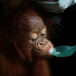 Orangutan Rescued in West Kalimantan