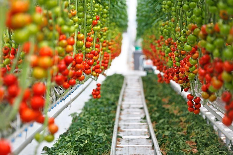 Pomodori cresciuti sotto i led: lilluminotecnica al servizio dell